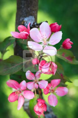 Beautiful apple tree flowers at spring