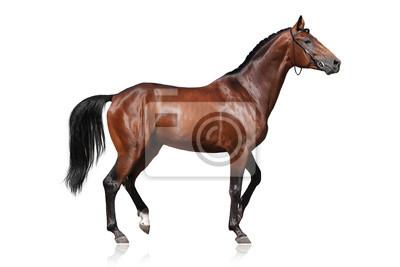 Beautiful bay horse isolated on white background