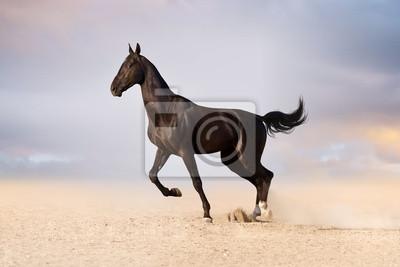 Beautiful black achal teke stallion horse start running in desert