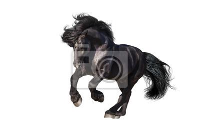 Beautiful black draft stallion galloping isolated on white background