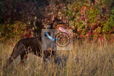 Beautiful brown young doberman male standing