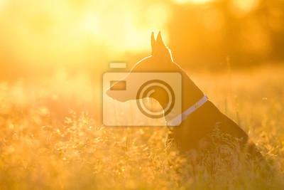 Beautiful doberman portrait silhouette in sunlight