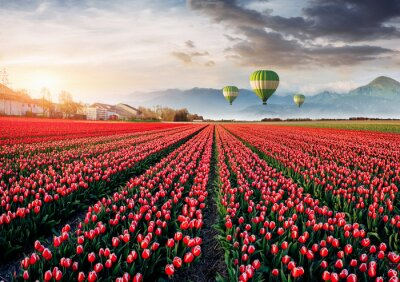 Wall mural Beautiful field of red tulips in Holland. Balloons in the background. Fantastic spring event
