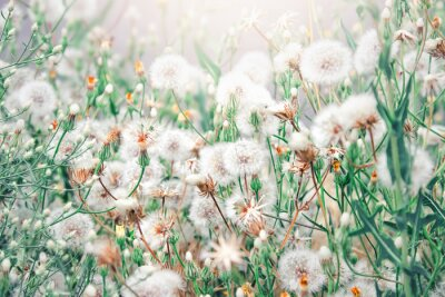 Wall mural Beautiful floral background with dandelion flowers in summer. Nature beauty.