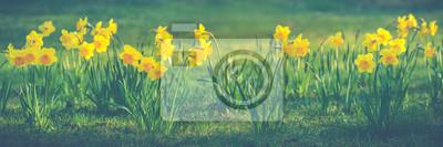 Beautiful flowers of yellow daffodils