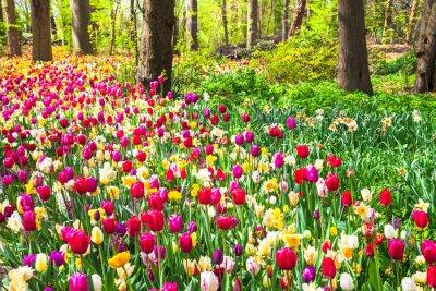 Wall mural beautiful garden with blooming vivid tulips in Keukenhof park, Holland