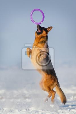 Beautiful german shepherd dog catching toy in snow field