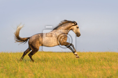Beautiful grey horse running on the meadow