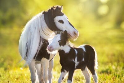 Beautiful piebald pony foal with mareoin green pasture