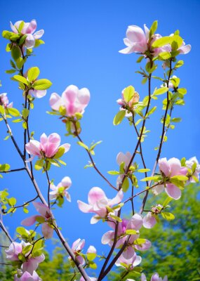 Wall mural Beautiful Pink Magnolia Flowers on Blue Sky Background. Spring Floral Image