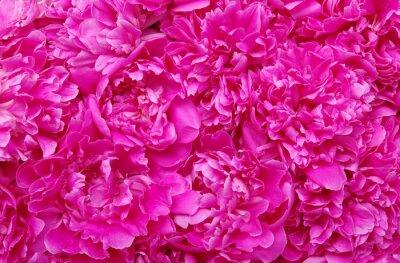 Beautiful pink peonies.