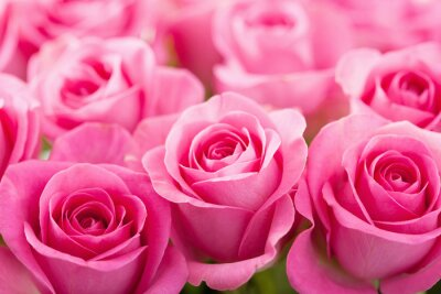 Wall mural beautiful pink rose flowers background