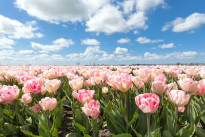 Wall mural beautiful pink tulip field in sunny day