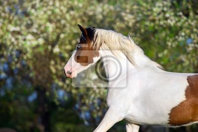 Beautiful pinto horse run fun in spring blossom garden landscape