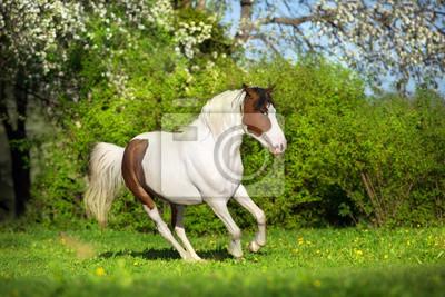 Beautiful pinto horse run fun in spring landscape