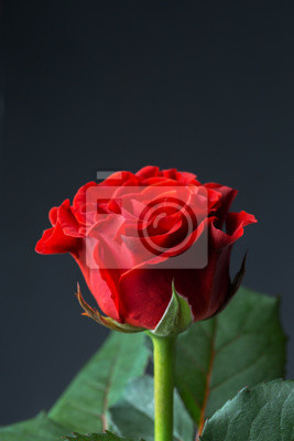 Wall mural Beautiful red rose
