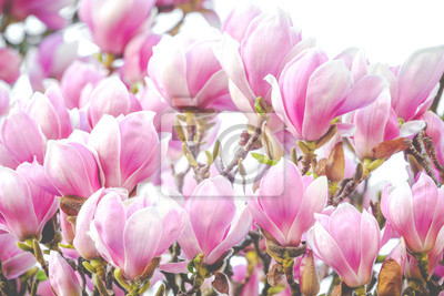 Wall mural beautiful rose magnolia blossom in spring