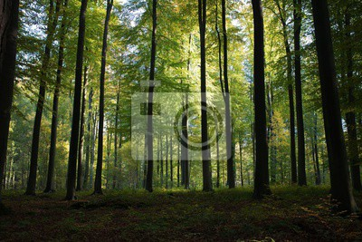 Wall mural Beautiful scenery of high green trees in the forest with the sun rays during daytime in Brussels