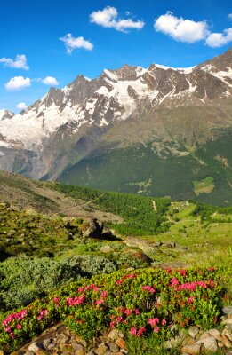 Beautiful spring mountain landscape with blooming azalea in canton of Valais,The Mischabel group in Swiss alps.