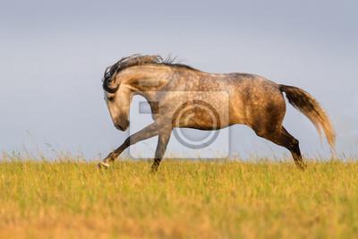 Beautiful stallion run gallop in the meadow