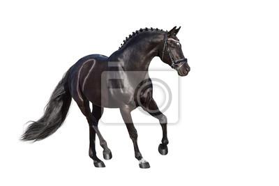Beautiful  stallion trotting isolated on white background