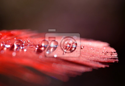 Beautiful water dew drops on a red feather close up. Nature background.