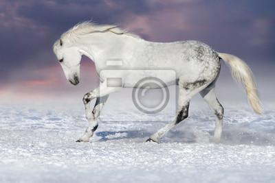 Beautiful white horse run in snow field