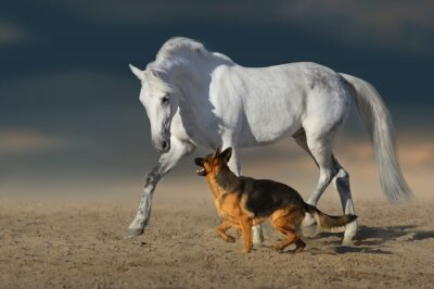 Beautiful white horse with long mane run and play with dog in desert dust