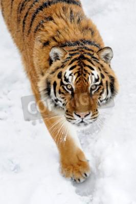 Wall mural Beautiful wild siberian tiger on snow