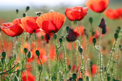 Wall mural bee and poppies flower spring season