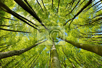 Wall mural Beech Trees Forest in Early Spring, from below, fresh green leaves