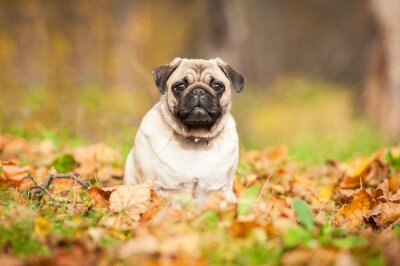 Wall mural Beige pug dog sitting on the leaves in autumn