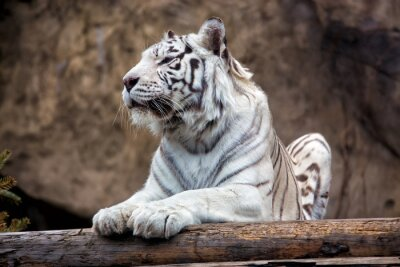 Wall mural Bengal Tiger - a rare subspecies, is included in the IUCN Red List