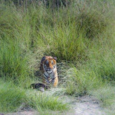 Wall mural Bengal tiger in Bardia national park, Nepal