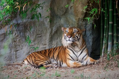 Wall mural Bengal Tiger in forest