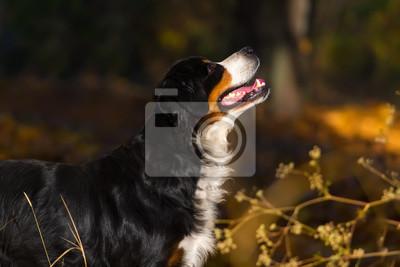 Berner sennenhund dog portrait