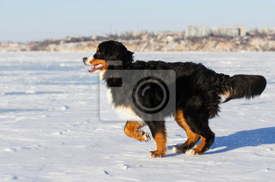 Bernese mountain breed dog play outdoors in winter