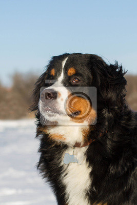 Bernese mountain breed dog portraite in winter outdoors