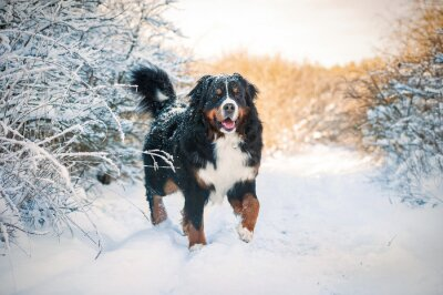 Wall mural Bernese mountain dog on the walk in winter
