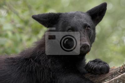 Bewildered Bear