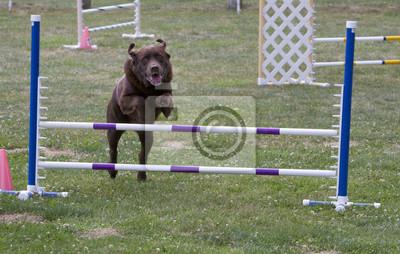 Big Brown Dog Jumping Agility Jump