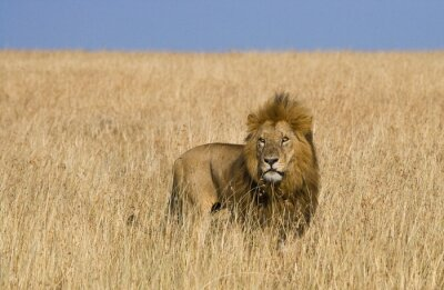 Wall mural Big male lion in the savanna. National Park. Kenya. Tanzania. Maasai Mara. Serengeti. An excellent illustration.