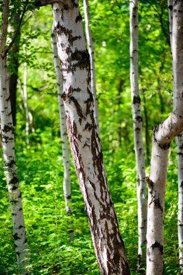 Wall mural birch
