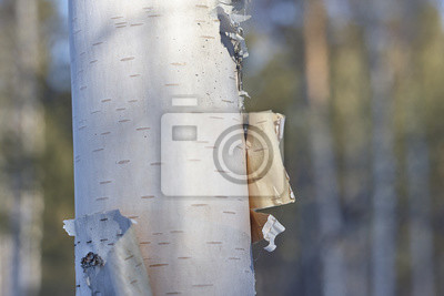 Wall mural birch bark close up
