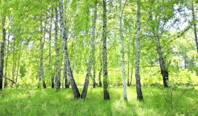 Wall mural birch forest