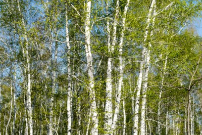 Wall mural birch forest, spring landscape