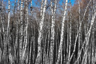 Wall mural birch grove, black and white gradient