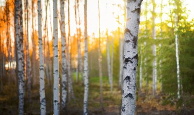 Wall mural Birch tree at sunset