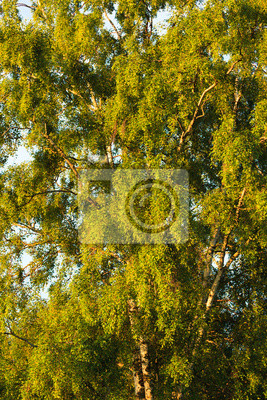 Birch tree foliage at summer in finland