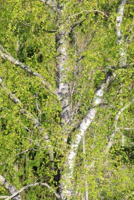Birch tree foliage growing at spring
